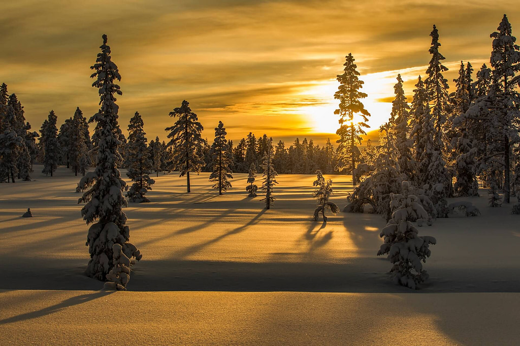 Sunrise_Winter_pine_trees